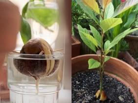 Hướng dẫn trồng cây bơ từ hạt, vừa làm cây cảnh vừa ăn trái