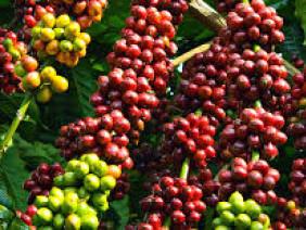 Biến đổi khí hậu sẽ ảnh hưởng tới hoạt động sản xuất cà phê toàn cầu