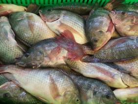 Dân miền Tây nuôi cá rô phi như thế nào?