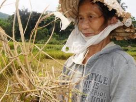 Nông dân khóc ròng vì giống lúa OM