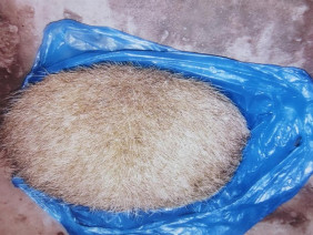 Phát hiện vật thể lạ nghi cát lợn ở Thanh Hóa