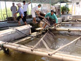 Nông dân dễ dàng thu tiền tỷ nhờ cá bống bớp