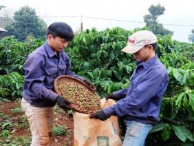 Thị trường cà phê Việt: Doanh nghiệp ngoại lấn lướt