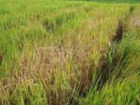 Phòng trừ bệnh đốm nâu hại lúa