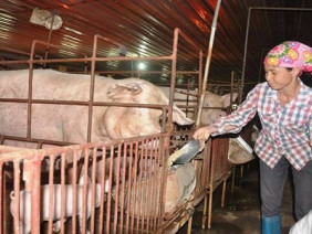Chất cấm mới phát hiện trong chăn nuôi độc hại thế nào?