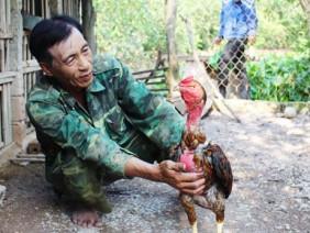 Nuôi gà chọi thu lãi 'khủng' ở Quỳnh Lưu
