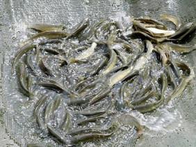 Kỹ sư bỏ phố lên rừng làm trang trại cá giống thu tiền tỷ