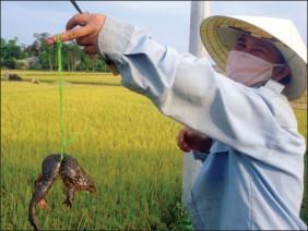 Cách nuôi ếch ở ruộng lúa