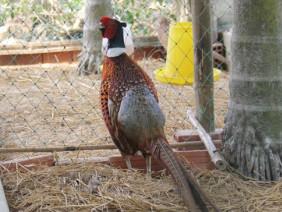 """Thuần hóa """"nữ hoàng"""" chim rừng dạn dĩ và dễ nuôi như... gà"""