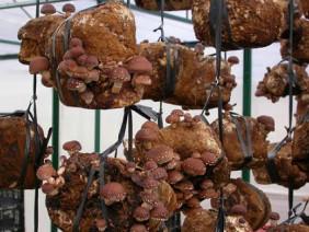 Kĩ thuật trồng nấm hương