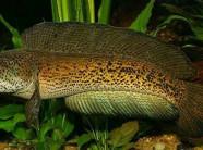 Chiêm ngưỡng loài cá lóc hoàng đế giá nghìn đô mới vào Việt Nam