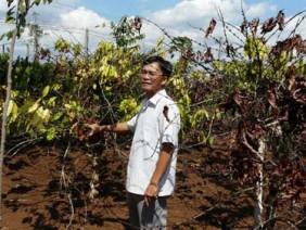 Vài kỹ thuật khôi phục vườn cà phê sau hạn hán