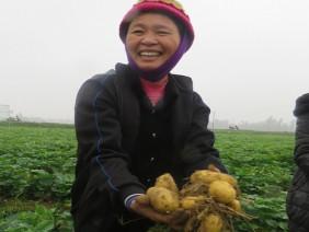 Mô hình trồng khoai tây che phủ xác thực vật