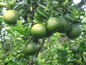 Kỹ thuật trồng cam sành cải tiến đem lại hiệu quả kinh tế cao