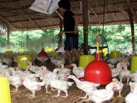 Liên kết chăn nuôi làm giàu: Nông dân liên kết với doanh nghiệp