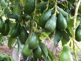 Làm giàu từ mô hình trồng xen canh cây Bơ- Cà phê