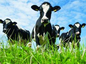Thu lãi cao từ nuôi bò sữa