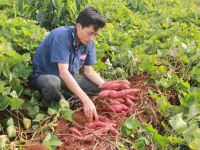 Anh nông dân trồng khoai lang - thu tiền tỷ mỗi năm