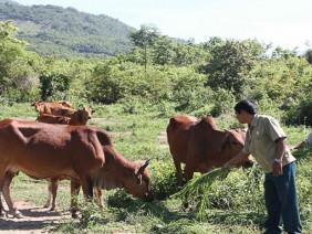 Phước Hòa: Mô hình nuôi bò rẻ đạt hiệu quả cao