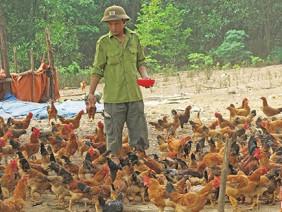 Thu tiền tỷ từ nuôi gà đồi