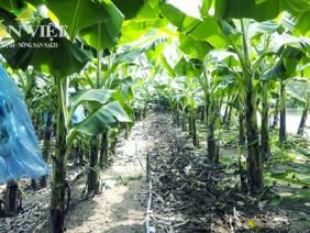 Quy trình chuẩn quốc tế ở vườn chuối công nghệ cao lớn nhất ĐBSCL