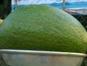 Bơ quý ra quả to chưa từng thấy ở Đắk Nông