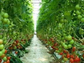 Trồng cà chua sạch công nghệ cao kiếm 100 triệu mỗi tháng.