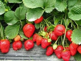 Ngon-bổ-rẻ với cách trồng dâu tây đơn giản tại nhà
