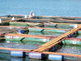 Nuôi cá lồng bè phát triển từ mô hình tổ hợn tác