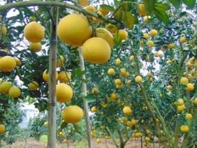 Kỹ thuật trồng bưởi Diễn năng suất cao, chất lượng tốt.