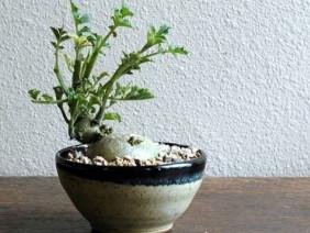 Các loại cây cảnh bonsai đẹp từ rau củ quả khiến bao người mê mẩn
