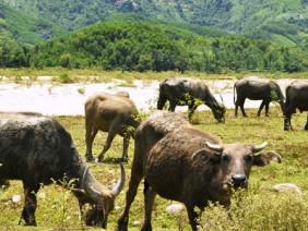Vượt ngàn khó khăn làm giàu từ nuôi trâu, bò