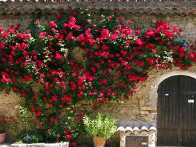 Ban công đẹp mê ly với cách trồng hoa hồng leo đơn giản.