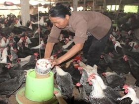Thu lãi gần nửa tỷ đồng/năm từ mô hình nuôi gà Ai Cập hướng trứng