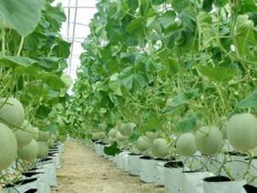 Kinh nghiệm trồng dưa lưới theo công nghệ Israel