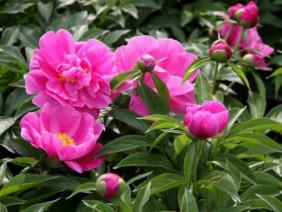 Bí quyết trồng hoa mẫu đơn - tha hồ ngắm hoa quanh năm.