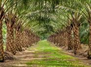 Trồng cọ dầu trên vùng đất lung phèn nặng kiếm tiền tỷ