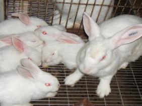 Liều lĩnh về quê nuôi thỏ, từ bỏ công chức