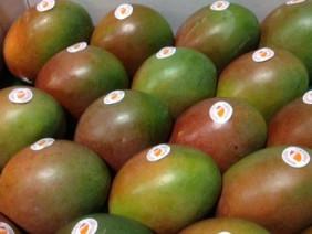 Xoài Úc - giống cây dễ trồng mang lại lợi nhuận cao.
