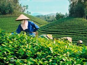Lợi nhuận tăng gấp ba lần nông dân hồ hởi trồng chè sạch