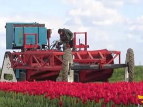 Máy thu hoạch hoa tulip hiện đại nhất thế giới