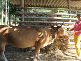 Làm nhà rơm: giải pháp mới cho nuôi trâu, bò vào mùa đông