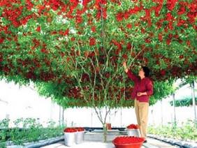 Mãn nhãn cây cà chua