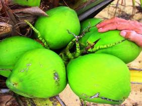 """8.000 đồng/ trái, dừa xiêm lùn da xanh """"cháy"""" hàng"""