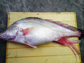Ngư dân bắt được con cá toàn thân vàng óng quý hiếm
