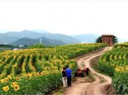 Cánh đồng hoa hướng dương đẹp như mơ trong ngôi làng cổ tích