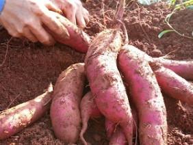Trồng khoai lang siêu củ nông dân thu tiền tỷ