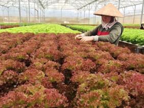 Kiếm tiền tỷ từ vườn rau áp dụng công nghệ mới
