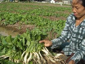 Trồng cây rau màu trên rơm nông dân làm giàu đơn giản
