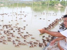 Tò mò thu nhập của nông dân sở hữu hàng ngàn con vịt trời